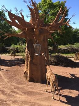 Osnabrück Zoo Baobabbaum Giraffengehege 1