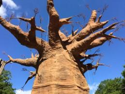 Osnabrück Zoo Baobabbaum Giraffengehege 18