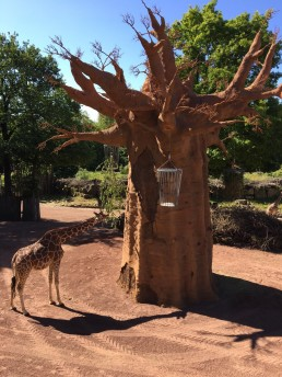 Osnabrück Zoo Baobabbaum Löengehege 29